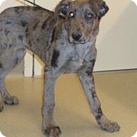 Catahoula Leopard Dog/Shepherd (Unknown Type) Mix Puppy for adoption in Wildomar, California - Morgan