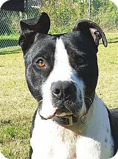 American Bulldog/Boxer Mix Dog for adoption in Little Rock, Arkansas - Pinnacle Petey
