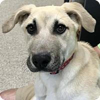 Adopt A Pet :: Cal - Norman, OK