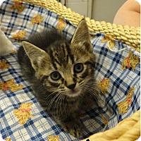 Adopt A Pet :: Acer - Ozark, AL