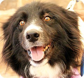 Border Collie Dog for adoption in San Angelo, Texas - Ash