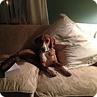 Adopt A Pet :: Charlotte ($300) In New Englan - Brattleboro, VT