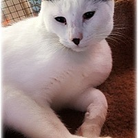 Domestic Shorthair Cat for adoption in Huntington, New York - Scottsdale