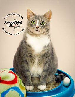 Domestic Shorthair Cat for adoption in Belton, Missouri - Cagney