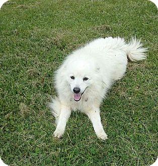 American Eskimo Dog Dog for adoption in Elyria, Ohio - Merlin
