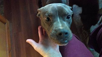 Labrador Retriever/Staffordshire Bull Terrier Mix Dog for adoption in south plainfield, New Jersey - Sal
