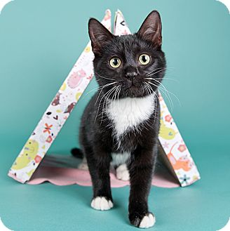 Domestic Shorthair Cat for adoption in Wilmington, Delaware - Tux