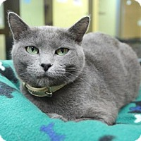 Domestic Shorthair Cat for adoption in Benbrook, Texas - Lily