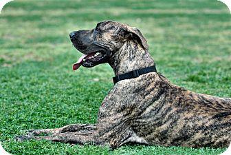 Great Dane Dog for adoption in Austin, Texas - Walter