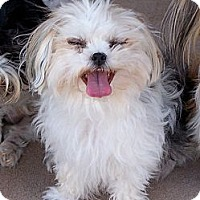 Adopt A Pet :: Casino ~ Pure breed Miki - San Angelo, TX