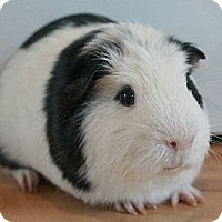 Adopt A Pet :: Pooh - Brooklyn Park, MN