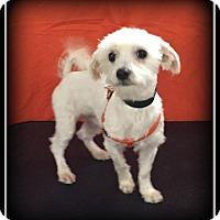 Adopt A Pet :: Louis - Indian Trail, NC