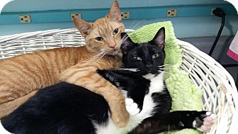 Domestic Shorthair Cat for adoption in Maryville, Tennessee - Edgar