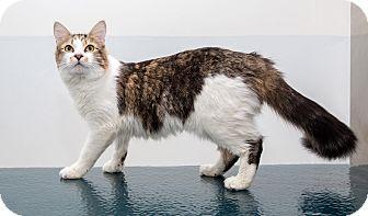 Domestic Shorthair Cat for adoption in Brooklyn, New York - Anna