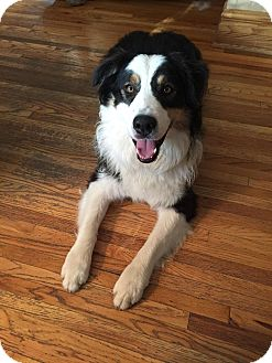 Australian Shepherd Dog for adoption in Minneapolis, Minnesota - Archie