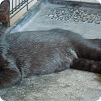 Domestic Shorthair Cat for adoption in Creston, Iowa - Lincoln