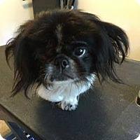 Adopt A Pet :: Brody (Bratzilla) - Ft. Lauderdale, FL
