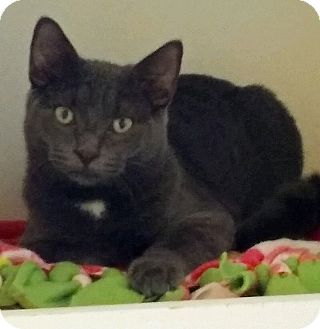 Domestic Shorthair Kitten for adoption in Fairfax, Virginia - Cotton