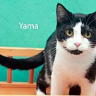Adopt A Pet :: Yama - Saint Robert, MO