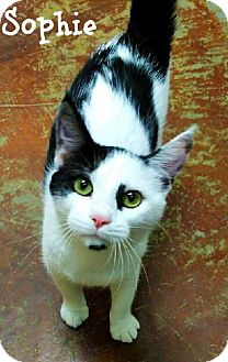 Domestic Shorthair Cat for adoption in Laplace, Louisiana - Sophie