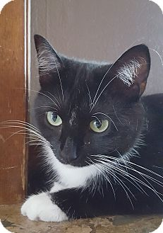 Domestic Shorthair Cat for adoption in Franklin, Indiana - Orca