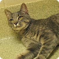 Adopt A Pet :: Baby Cat - Windsor, VA