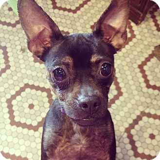 Miniature Pinscher/Chihuahua Mix Dog for adoption in Jersey City, New Jersey - Roxie Hart