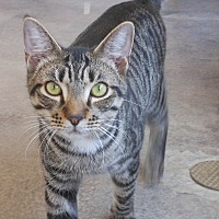 Domestic Shorthair Cat for adoption in Barnwell, South Carolina - Kline