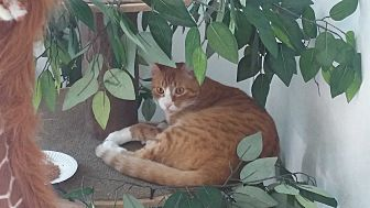 Domestic Shorthair Cat for adoption in El Cajon, California - Tom