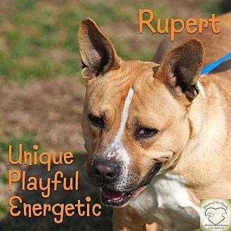 Pit Bull Terrier/Shepherd (Unknown Type) Mix Dog for adoption in Washburn, Missouri - Rupert