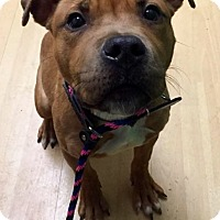 Adopt A Pet :: Carlin in CT - Manchester, CT