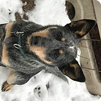 Australian Cattle Dog Dog for adoption in Remus, Michigan - Finch is Pending!