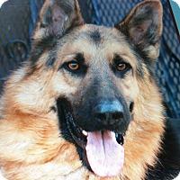 Adopt A Pet :: HONDO VON HERRLICH - Los Angeles, CA