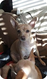 Chihuahua Dog for adoption in Custer, Washington - Eddie