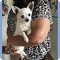 Adopt A Pet :: Cupid - San Juan Capistrano, CA