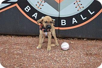Labrador Retriever/Bluetick Coonhound Mix Puppy for adoption in Forest Hill, Maryland - Camden