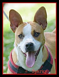 Pit Bull Terrier Mix Dog for adoption in Memphis, Tennessee - Sparky