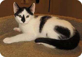 Domestic Shorthair Kitten for adoption in Catasauqua, Pennsylvania - Rudy