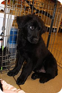 Chow Chow Mix Puppy for adoption in Gainesville, Florida - Martin