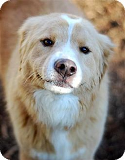 Nova Scotia Duck-Tolling Retriever/Retriever (Unknown Type) Mix Dog for adoption in New Boston, New Hampshire - Daley