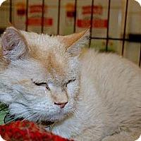 Siamese Cat for adoption in Grantsville, Utah - Tex