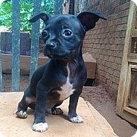 Adopt A Pet :: Chi pup 1 - hartford, CT