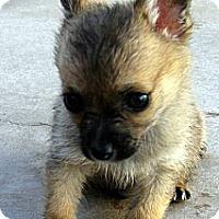 Adopt A Pet :: Baby Garbanzo - Oakley, CA