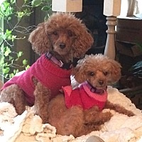 Adopt A Pet :: Gracie and Georgie - Downers Grove, IL