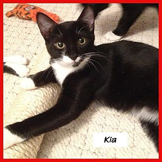 Domestic Shorthair Cat for adoption in Miami, Florida - Kia