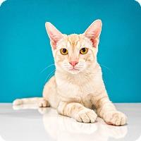Adopt A Pet :: Dolce - Chandler, AZ
