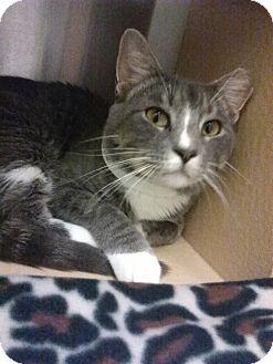 Domestic Shorthair Cat for adoption in Plainville, Massachusetts - Troy
