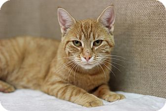 Domestic Shorthair Cat for adoption in Midland, Michigan - Queen Orangela
