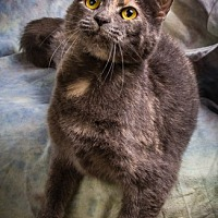 Domestic Shorthair Cat for adoption in Anna, Illinois - DELILAH