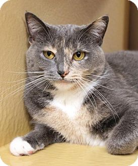 Domestic Shorthair Cat for adoption in Dallas, Texas - Lola